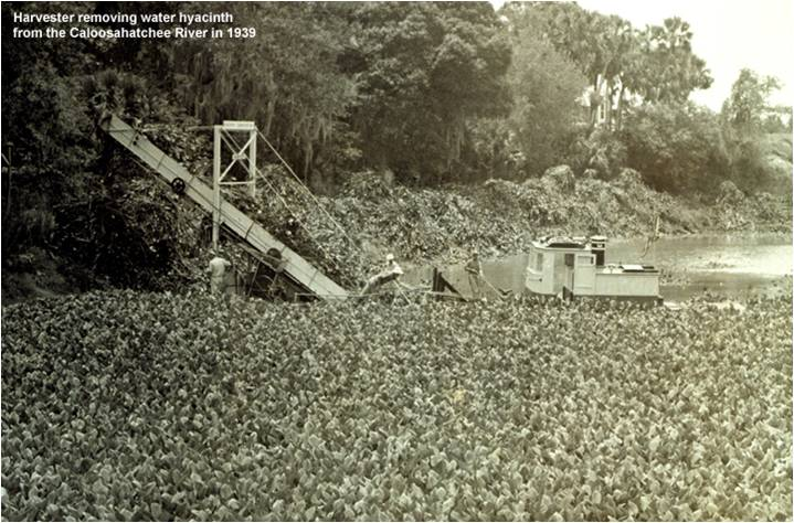Water hyacinths being excavated from a Caloosahatchee River oxbow in 1939.